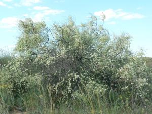 Джузгун безлистный-Calligonum aphyllum(Pall.)