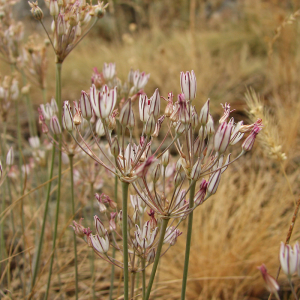Лук неравный-Allium inaeguale Janka