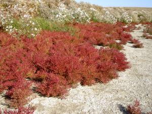 Солерос европейский-Salicornia europaea L.
