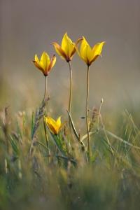 Тюльпан Биберштейна - Tulipa biebersteiniana Shult. et Shult. fil._1.Фото Шпиленка И.П.