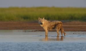 Волк. Фото Шпиленка И.П.