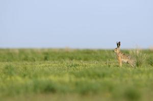 Заяц-русак. Фото Шпиленка И.П.