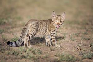 Степная кошка. Фото Мосейкина В.Н.